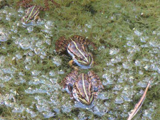 Trio de grenouilles