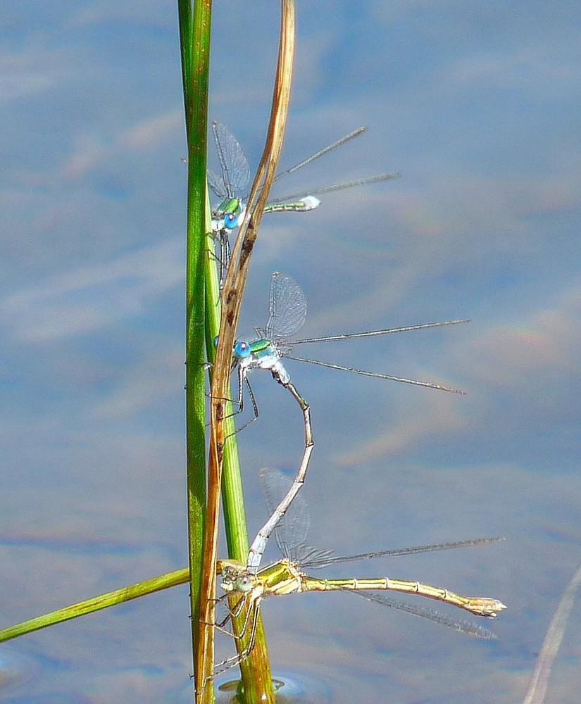 Trio de libellules