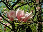 Trio Magnolia