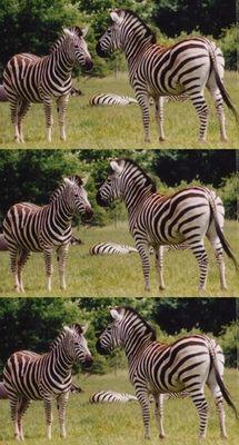 triptychon der zebras