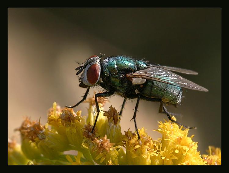 triviale Fliege