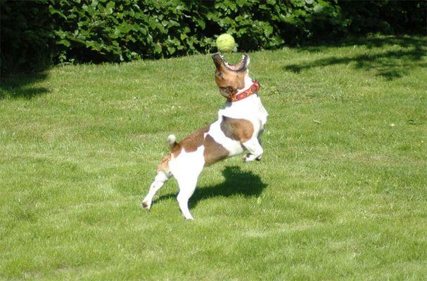Trixie, die den Ball fängt