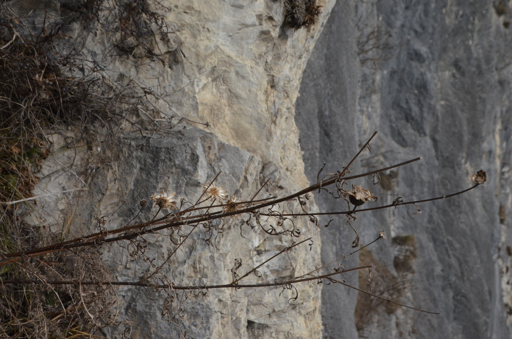 Trockenblumen am Klettersteig