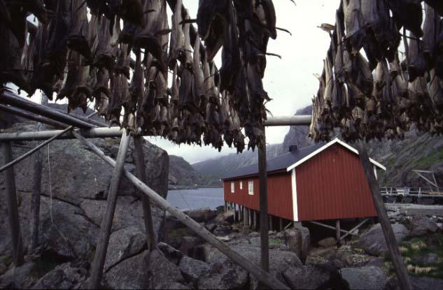 Trockenfische auf den Lofoten