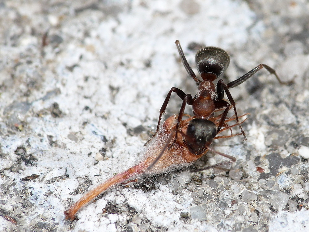 Trockenfutter für Ameisen