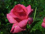 Tröpfchen-Rose (3)