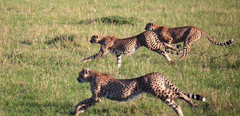 trois guépards à la chasse