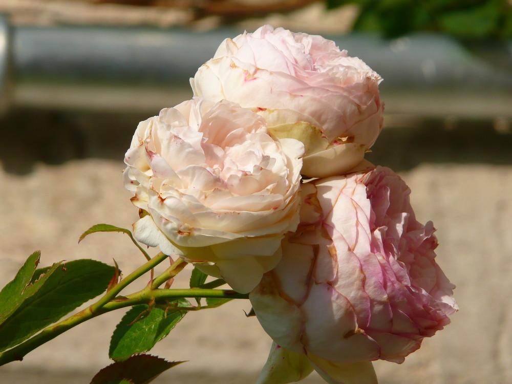 """""""trois roses pour vous"""""""