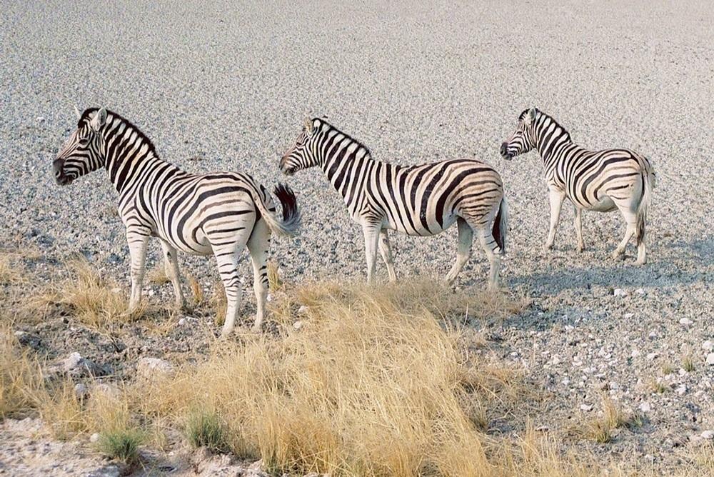 Trois Zebres