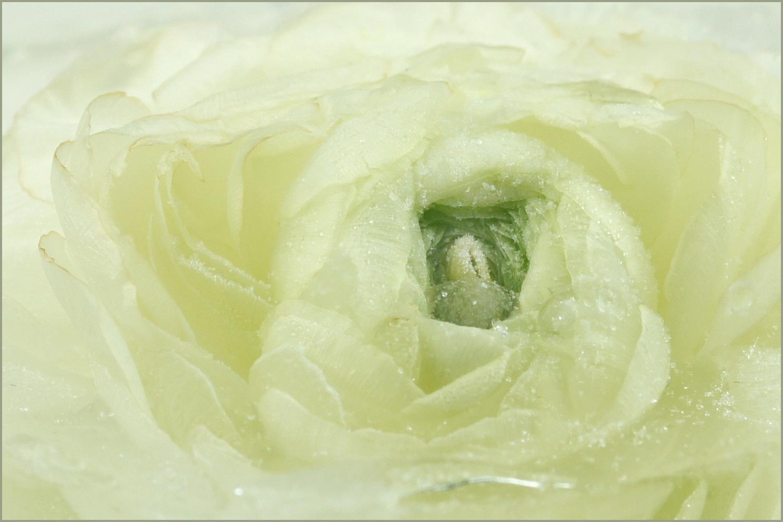 Trollblume im Eis