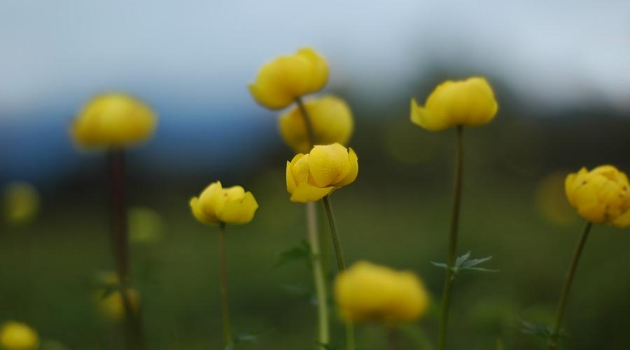 Trollblumen - der Frühling lässt sich nicht aufhalten