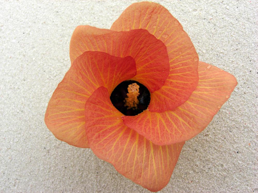 Trompeten Blume