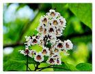 Trompetenbaumblüte