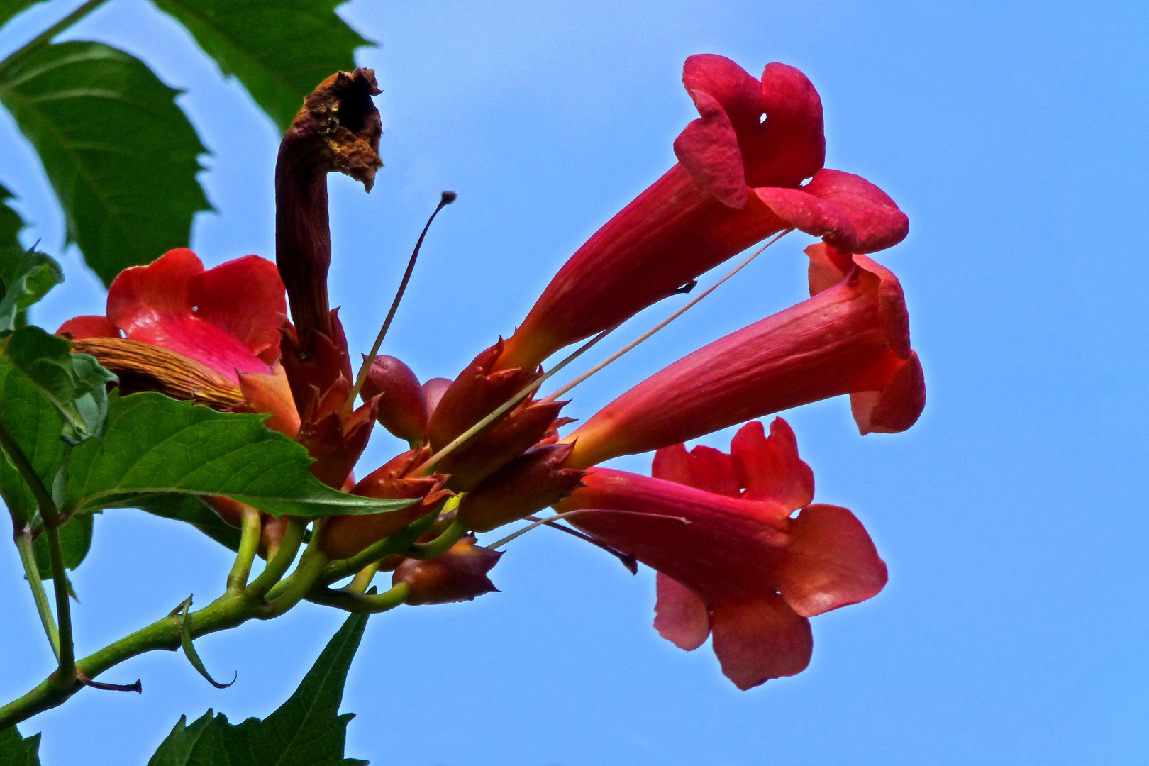 Trompetenblume