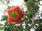 trompetenblume von unten