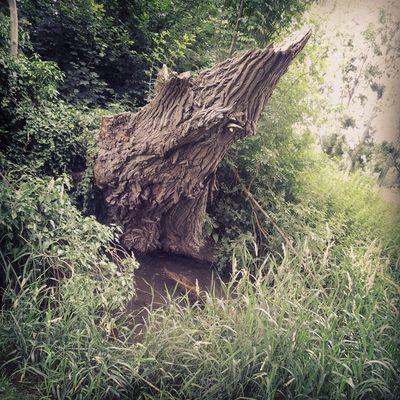 Tronc d'arbre au Plan du Canada ( Beauvais )