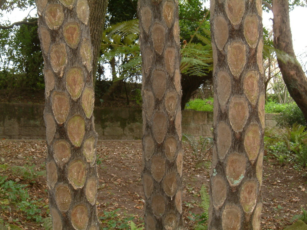 tronc de fougère arborescent