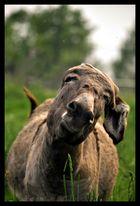 Trop de mouches...dur dur la vie d'âne...