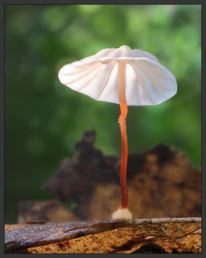 Tropen-Blätterpilz II