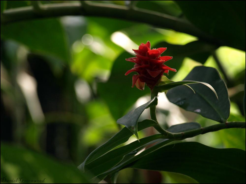 Tropenpflanze