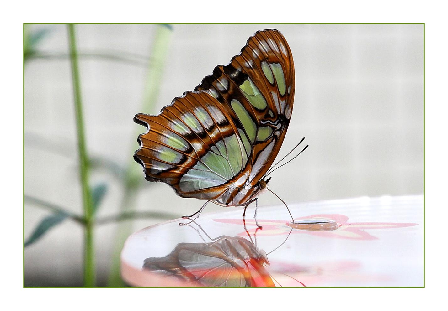 Tropen*Schmetterling*