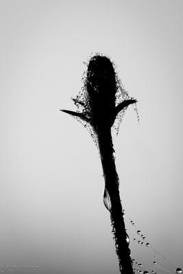 Tropfen gefangen im Spinnennetz
