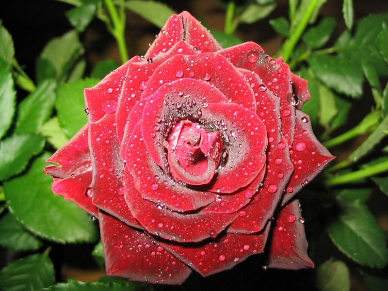 Tropfende Rose