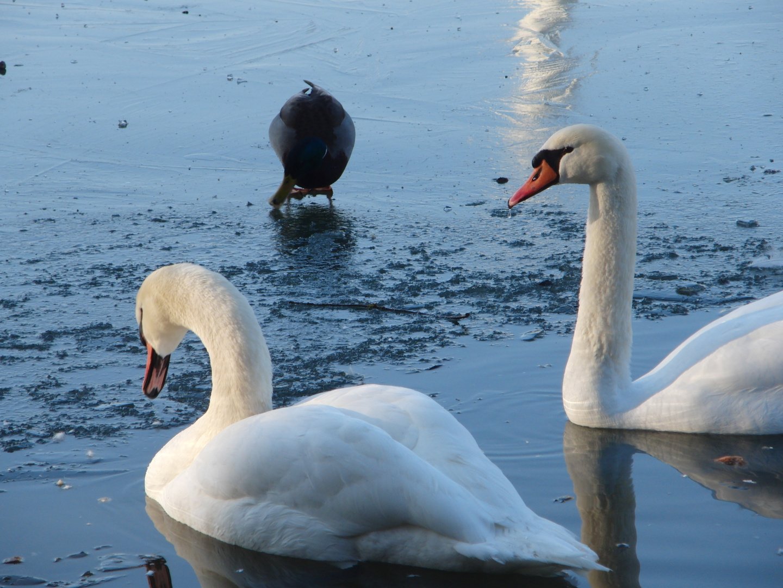 tropfender schwan