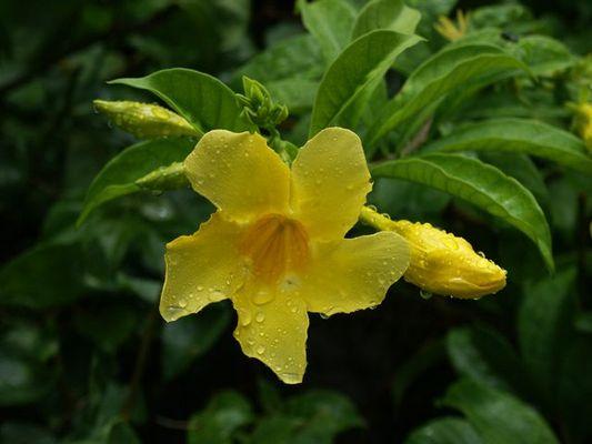 Tropical Rain Flower