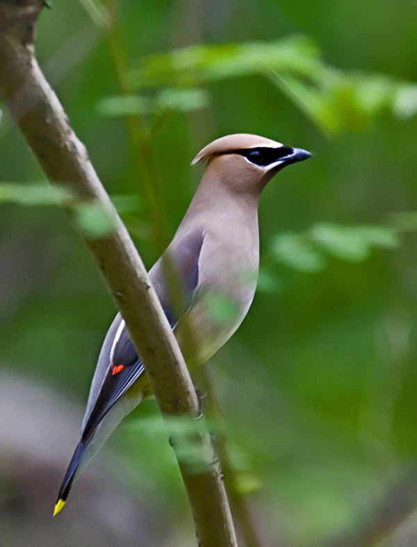 Tropical WaxWing