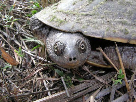 Tropische Schlangenhalsschildkröte