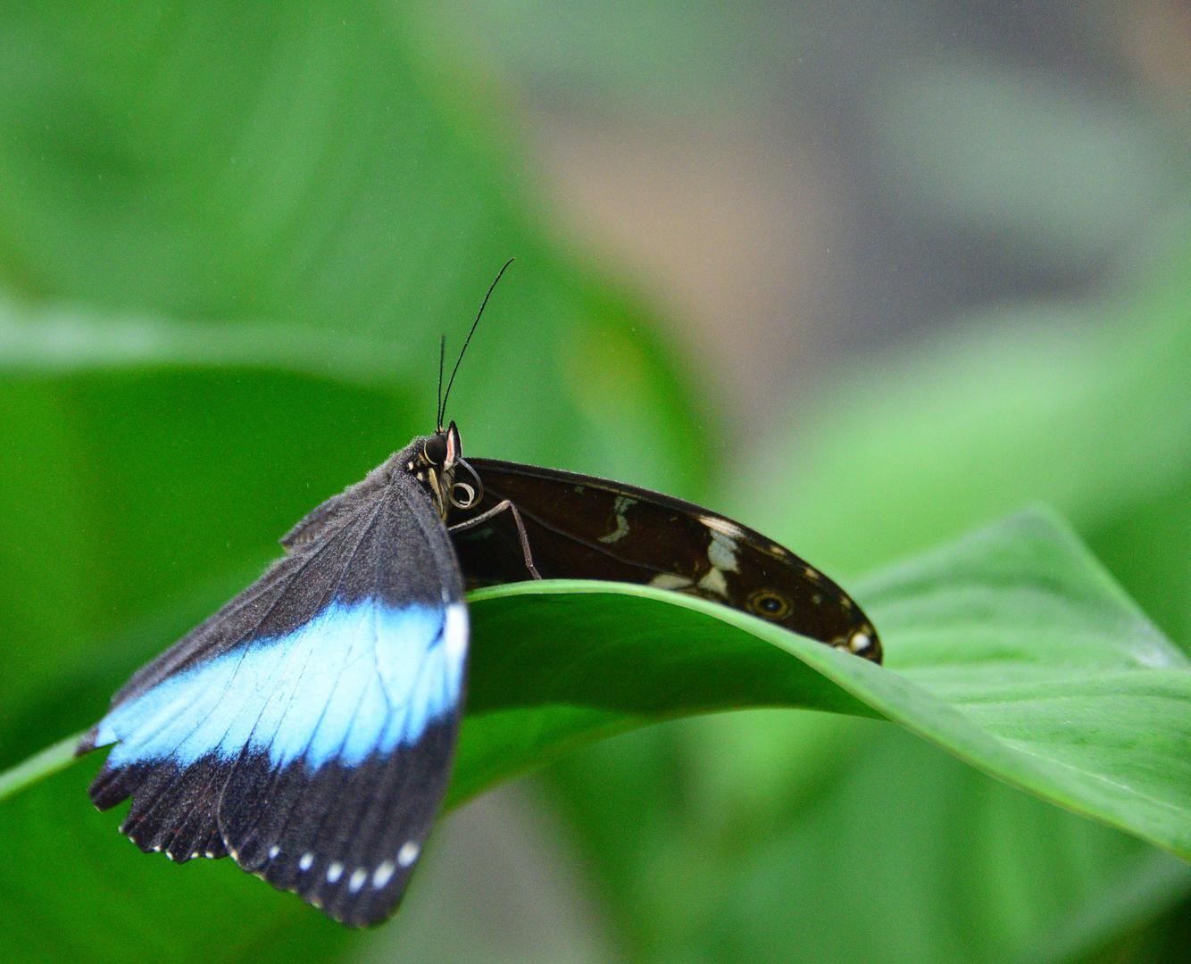 Tropische Schmetterlinge Himmelsfalter