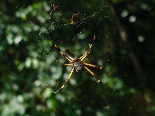 tropische Spinne mit Mann