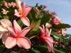 Tropischer Blütenbaum