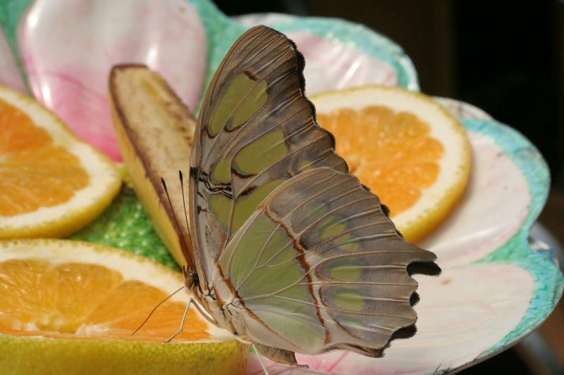 tropischer Schmetterling (1)