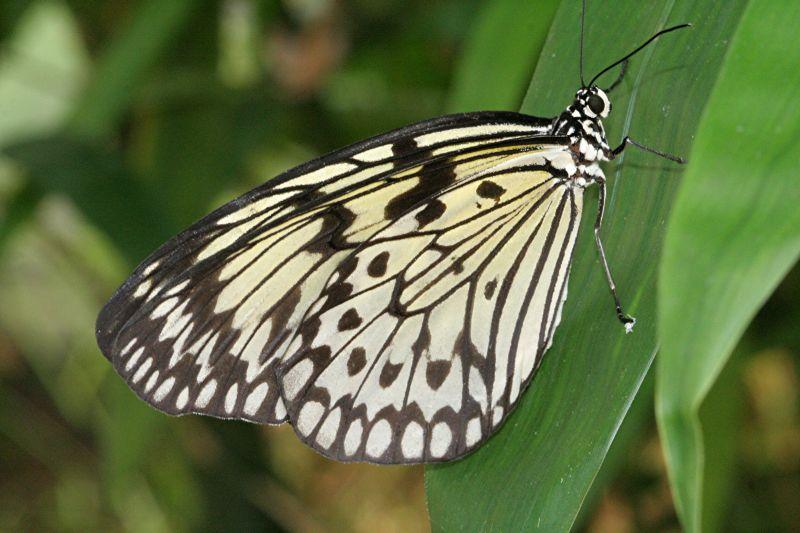 Tropischer Schmetterling (2)