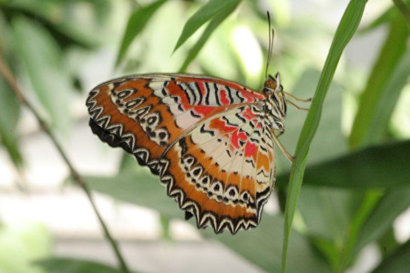 Tropischer Schmetterling (3)