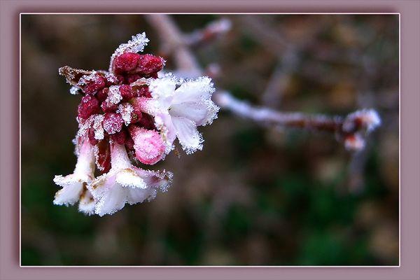 ... trotz Kälte aufblühen...