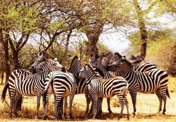Troupeau de zèbre à l'ombre d'un accacia, Tarangire, Tanzanie