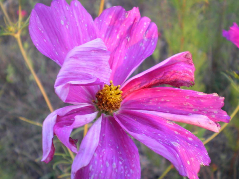 trouvée dans une jachère fleurie