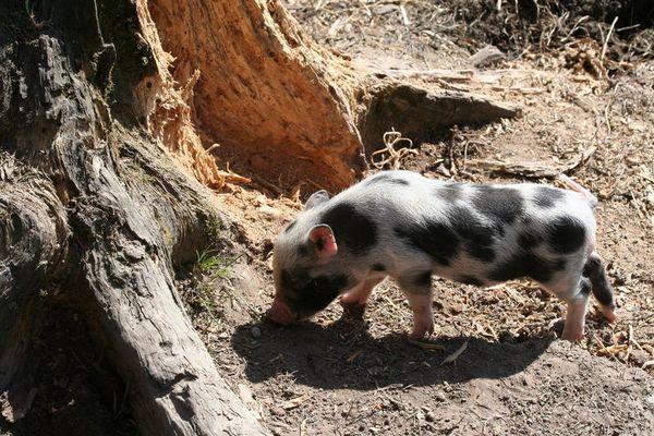 Trüffelschwein Nachwuchs