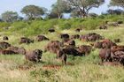 Tsavo Ost - Büffel