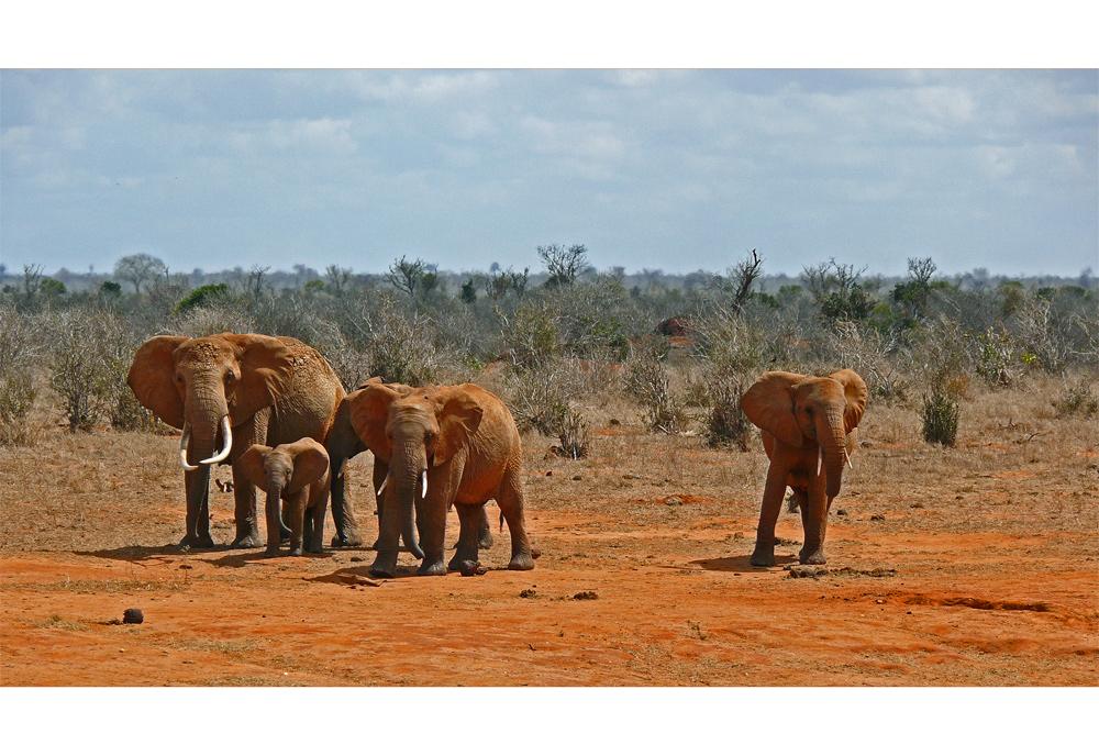 Tsavo Ost ... Elefanten hautnah...