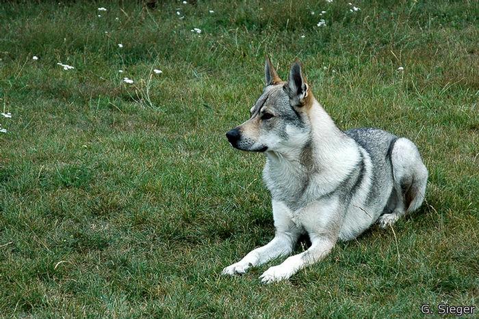Tschechischer Wolfshund 1