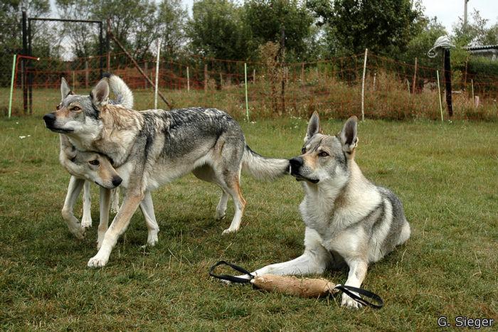 Tschechische Wolfshunde