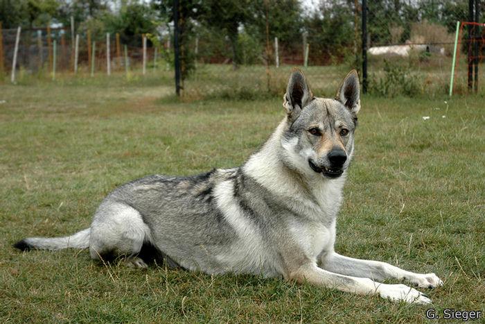 Tschechischer Wolfshund 6