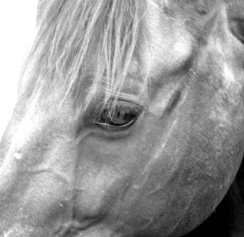 Tête d'un cheval