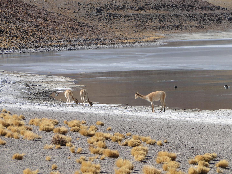 Ttetir' guisla (vicuña)