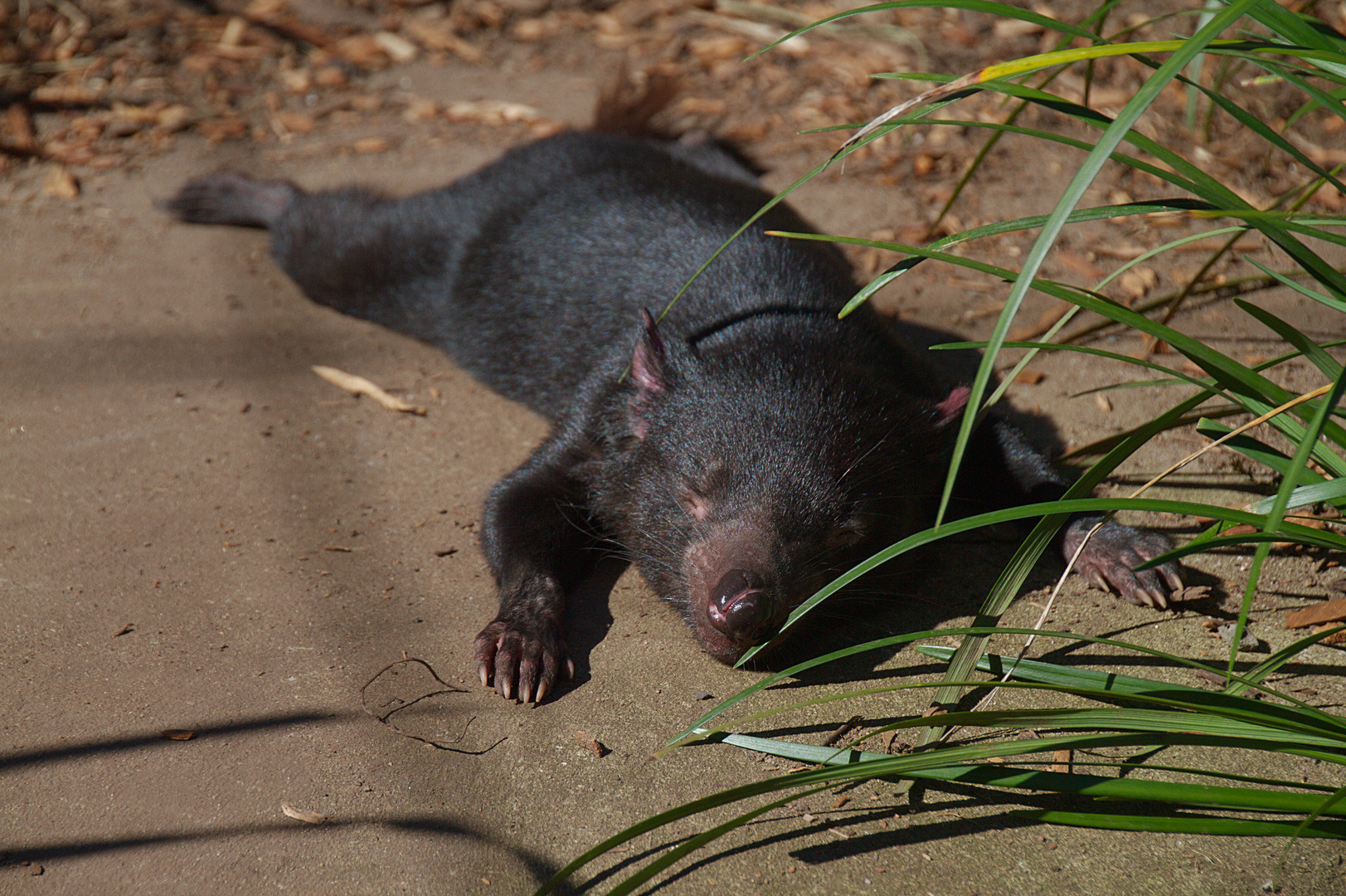 TTT  -  Tiefenentspannter Tasmanischer Teufel