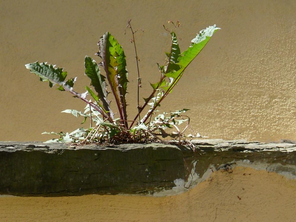 Tübinger Mauerblümchen